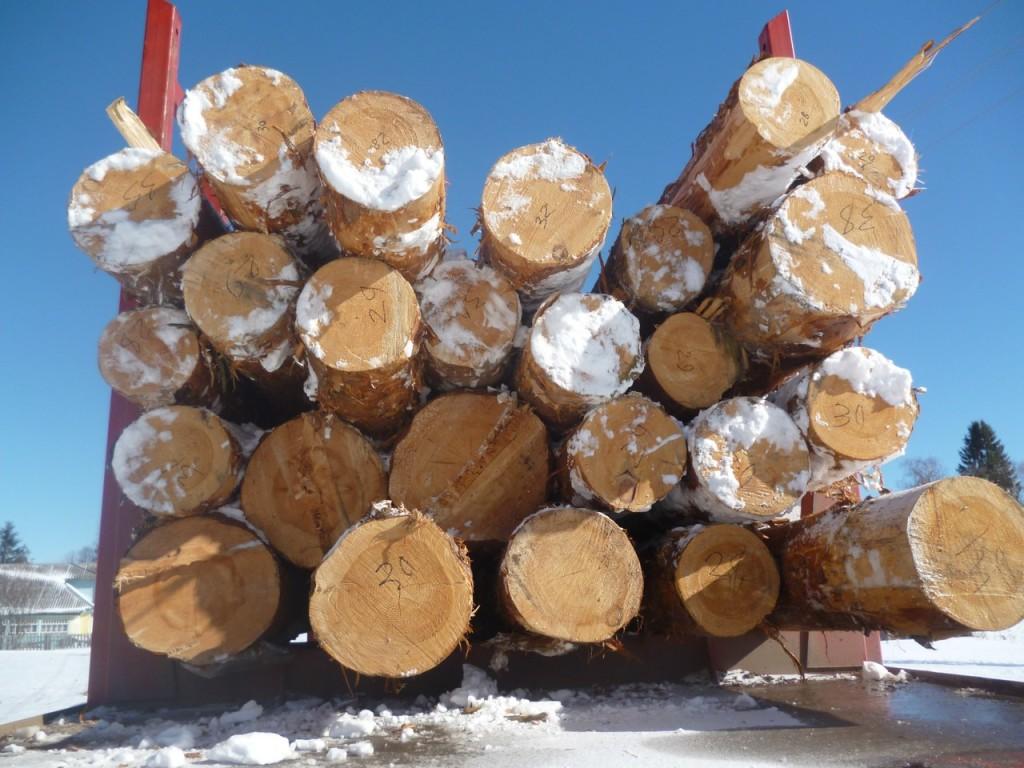 """ТАКОЙ лес! столетняя сосна, 12-метровая, """"не менее 30 см в вершине""""-всё как в поставленной СВЕРХзадаче)"""